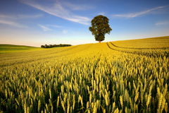 Ripening ears of wheat field on the background of the setting sun Royalty Free Stock Image
