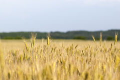 Ripening ears of wheat field stock photos