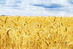 Ripening ears of yellow golden wheat field with blue sky and clouds, summer harvest, rural meadow. Ripening ears of yellow golden wheat field with blue sky and Stock Image