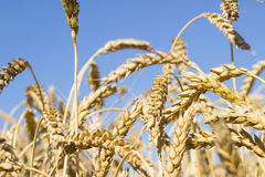 Ripening ears of yellow golden wheat field with blue sky, summer harvest, rural meadow Royalty Free Stock Photo