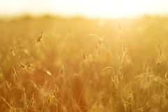 Ripening ears of yellow wheat field on the sunset. Rural landscape, reach harvest concept Royalty Free Stock Images