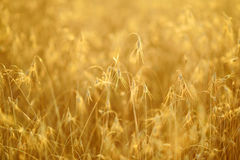 Ripening ears of yellow wheat field on the sunset. Rural landscape, reach harvest concept Stock Photos