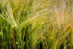 Ripening Einkorn wheat spikes from close Stock Images