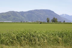 Ripening Field in the Fraser Valley Stock Image