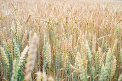 Ripening field of rye. Beautiful agricultural background. The Ripening field of rye. Beautiful agricultural background Stock Photo