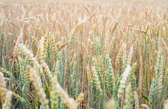 Ripening field of wheat. Agricultural background. The Ripening field of wheat. Agricultural background Royalty Free Stock Photos