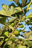 Ripening fig fruit on tree Royalty Free Stock Photography