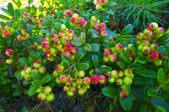 Ripening foxberries in forest. Royalty Free Stock Images
