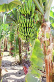 Ripening fruit of banana on the palm tree Royalty Free Stock Images