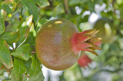 Ripening fruit of pomegranate on a tree on a branch Stock Image