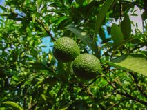 Tangerine. The ripening tangerine fruit on a tree branch stock image