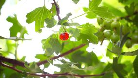 Ripening fruits of black currant. Berries stock video footage