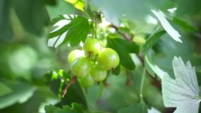 Ripening fruits of black currant berries. Some green berries of black currant stock video footage