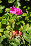 Ripening fruits, bright purple flowers and green leaves on the branches of the wild Rose Bush. Garden and Park shrub, wild rose. Stock Image