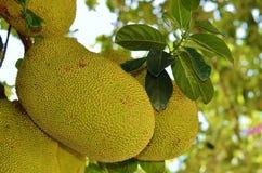 Ripening fruits jackfruit. In the street Hainan Stock Photos