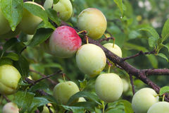 Ripening fruits of a Superior Japanese plum Royalty Free Stock Photography