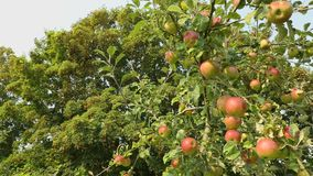 Ripening Full Apple Tree dolly shot. Dolly shot of apples in the tree ready to be harvested stock video footage
