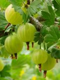 Ripening gooseberries. Some ripening gooseberries on the branch stock image