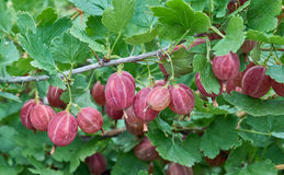 Ripening Gooseberries. Some red ripening gooseberries on the branch Royalty Free Stock Photo