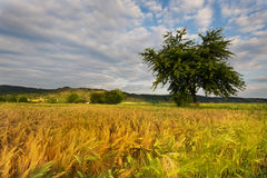 Ripening grain fields and tree Royalty Free Stock Photography