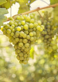 Ripening grape Royalty Free Stock Image
