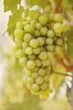 Ripening grape Stock Photos