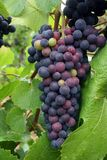 Ripening Grape Cluster. Grape cluster changing color from green to ripe purple Stock Photo