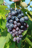 Ripening grape Stock Photos