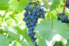 Ripening grape clusters Royalty Free Stock Images