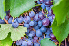 Ripening grape clusters Stock Image