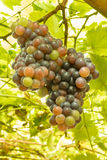 Ripening grape clusters Stock Images