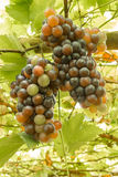 Ripening grape clusters Royalty Free Stock Image