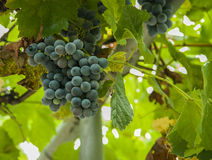 Ripening grape clusters on the vine Royalty Free Stock Photos