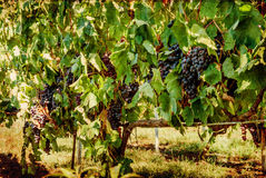 Ripening grape clusters on the vine Royalty Free Stock Photo