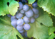 Ripening grape clusters on the vine Royalty Free Stock Images