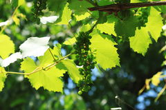 Ripening grape leaves in. Photo of the bunch that ripens on a branch in a clear sunny day with a blurred background Stock Image