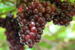 Ripening grape Royalty Free Stock Photo