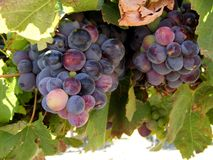 Ripening grapes Royalty Free Stock Photo