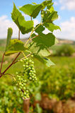 Ripening Grapes. Bunches of grapes ripening in the sun at a vineyard in the South of France Stock Photos
