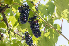 The ripening grapes. Royalty Free Stock Photo