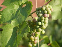 Ripening grapes in central Russia Royalty Free Stock Image