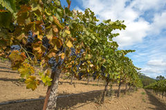 Ripening grapes hanging on the vine. Zinfandel red grapes ripening in a California vineyard Royalty Free Stock Photo