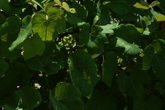 Ripening grapes off the vine. Bunches  wine grapes ripening on vines growing in a vineyard Royalty Free Stock Images