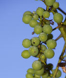 Ripening grapes Royalty Free Stock Image
