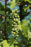 Ripening grapes. In the sunny garden Stock Images