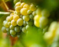 Ripening grapes on the vine Stock Photography