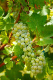Ripening grapes on the vine. Closeup of ripening chardonnay white grapes on a vine in the vineyard Stock Photo