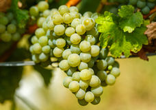 Ripening grapes on the vine. Closeup of ripening chardonnay white grapes on a vine in the vineyard Royalty Free Stock Images