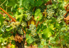 Ripening grapes on the vine. Closeup of ripening chardonnay white grapes on a vine in the vineyard Stock Image