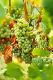 Ripening grapes on the vine. Closeup of ripening chardonnay white grapes on a vine in the vineyard Stock Images
